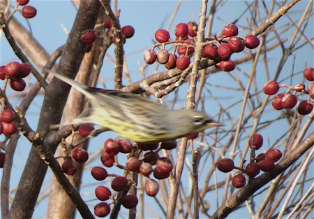 Kirtland's Warbler spotted on Cayo Guillermo Cay off the northern coast of Cuba. The bird (male) is identified by its yellow underparts with black streaks on flanks, white undertail coverts, blue-gray upperparts with black streaks, and conspicuous white eye-crescents that contrast with black lores and forehead. This appears to be a first winter male as the bird shows some brown on its upperparts and face. (photo by Anne Goulden)
