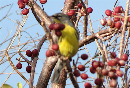 This photo shows the yellow throat, breast and belly, white undertail coverts and black lores of the Kirtland's Warbler. The broken white eye ring is also clearly visible. Female Kirtland's are similar to males but have no black on the face and their upperparts and face are more brown. (photo by Anne Goulden)