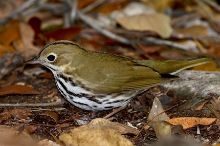 Hopefully, a few migrants, like this Ovenbird, are still lingering in the islands and will be included in some checklists! (photo by Bill Hebner)