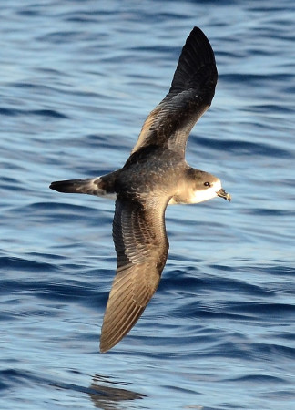 A Bermuda Petrel, also known as a Cahow. (Photo by Andrew Dobson)