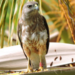 Ridgway's Hawks are critically endangered and found only in Los Haitises National Park in the Dominican Republic. (Photo by the Peregrine Fund)