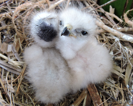 Nestling Ridgway's Hawks hatched in Punta Cana, Dominican Republic, thanks to The Peregrine Fund's Assisted Dispersal Program. (Photo by The Peregrine Fund)