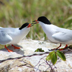Adult roseate tern couple displaying courtship behavior in the LeDuck island colony. (Photo byDaniel Nellis)