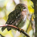 An early morning hike in Tope de Collantes yielded a Cuban Pygmy Owl, one of two endemic owls on the island. (Photo by David Southall)
