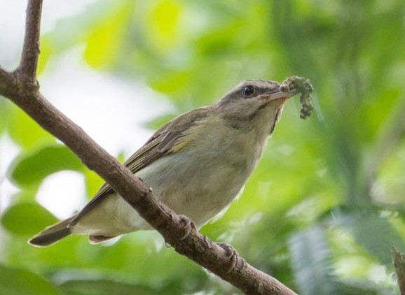 A Black-whiskered Vireo. (Photo by David Southall)