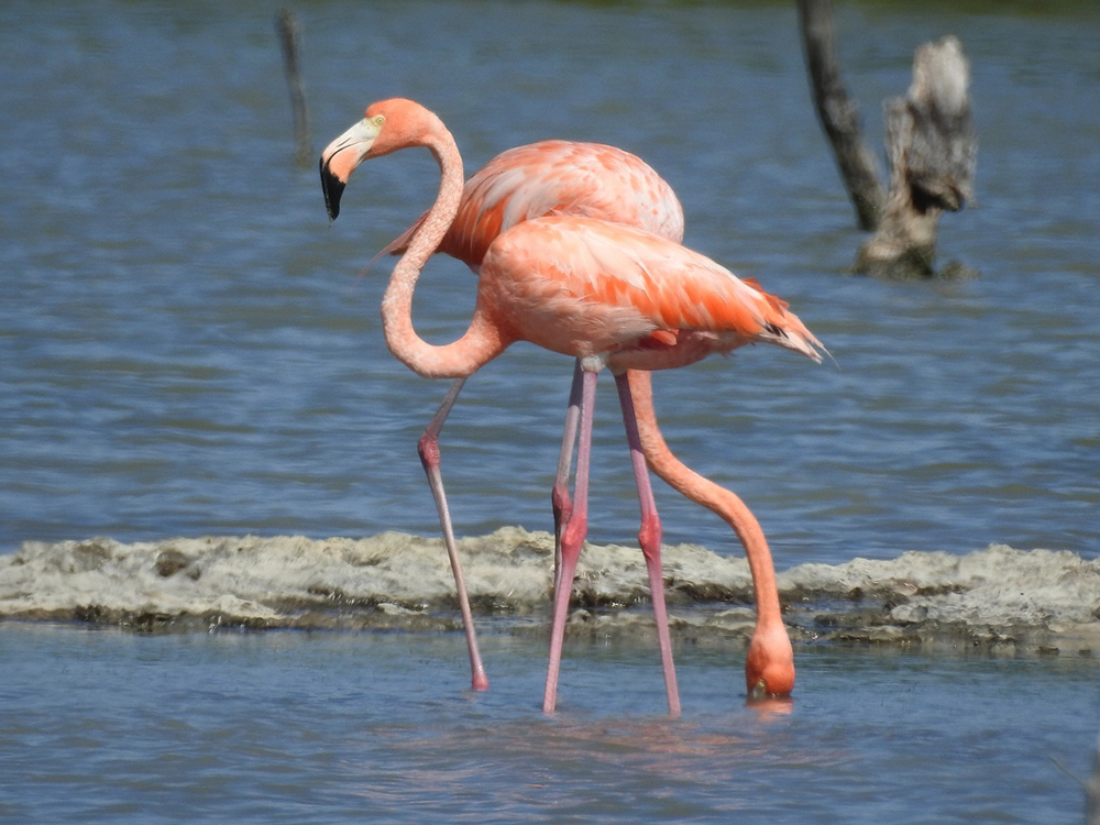 American Flamingos in Las Salinas - we never got tired of watching and photographing this elegant bird. (Photo by Erika Gates)