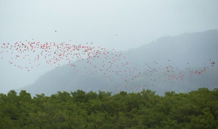 Scarlet Ibis return to their roosting site after a day of foraging. (Photo by Jessica Rozek)