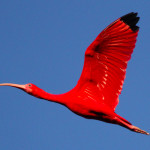 The Scarlet Ibis is the national bird of Trinidad and Tobago. (Photo by Faraaz Abdool)