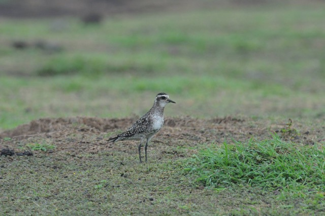 Keep an eye out for unusual birds that may have been blown off course! An American Golden Plover on Statia.  This species has never been recorded there before and they were likely blown off course by the recent hurricanes. (Photo by Johan Stapel)