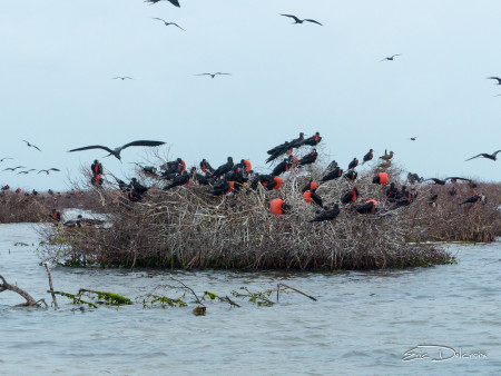Male Magnificent Frigatebirds courting and in flight at the colony Codrington Lagoon. (Photo by Eric Delcroix)