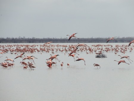 West Indian flamingos feeding in Inagua, the Bahamas. (Photo by the Bahamas National Trust)
