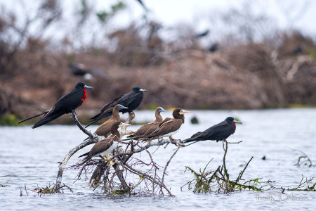 Magnificent Frigatebirds and Brown Boobies in Codrington Lagoon (Photo by Frantz Delcroix)