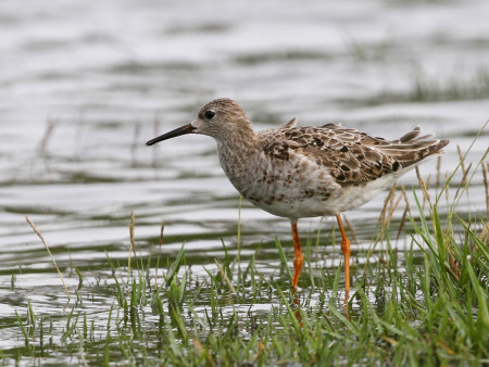 A rare visitor to Guadeloupe, this Ruff was spotted after the recent hurricanes. (Photo by Anthony Levesque)