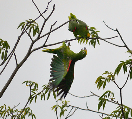 The Yellow-crowned Amazon is locally known in Trinidad as the Venez Parrot. (Photo by Lester James)