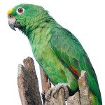 Meet the Superspecies of Parrots: Yellow-crowned Amazon (Amazona ochrocephala)