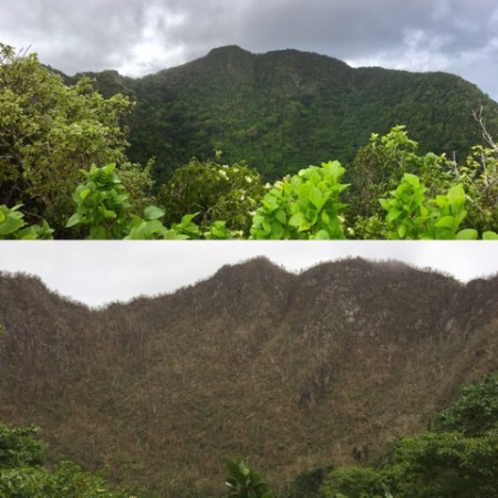Before and after Irma: A mountain called the Quill on St. Eustatius, home to the Quail Dove, showing the destruction of habitat. (Photo by STENAPA)