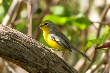 Barbuda Warbler (Photo by Jeff Gerbracht)