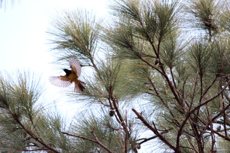 A Bahama Oriole takes off in the pine forest. (Photo by Dan Stonko)