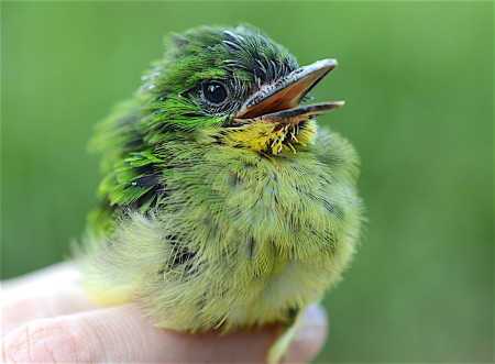 This is a Broad-billed Tody chick at 13 days old. I banded chicks between 12-14 days because at that point they were most developed. Chicks typically fledged (left the nest) around 14 days after hatching. (Photo by Holly Garrod)