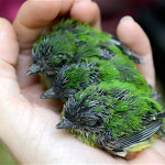 Typical clutch of Broad-billed Todies at 12 days old. Clutch size is typically 1-4 chicks. (Photo by Holly Garrod)