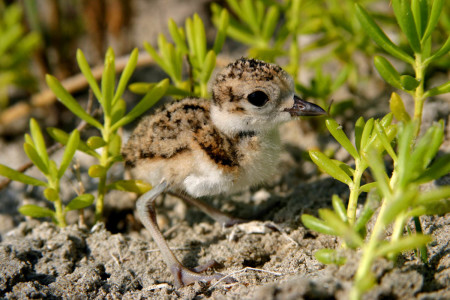 Wilson's Plover chick. This is an excellent opportunity to gain multi-species shorebird ID and monitoring experience.