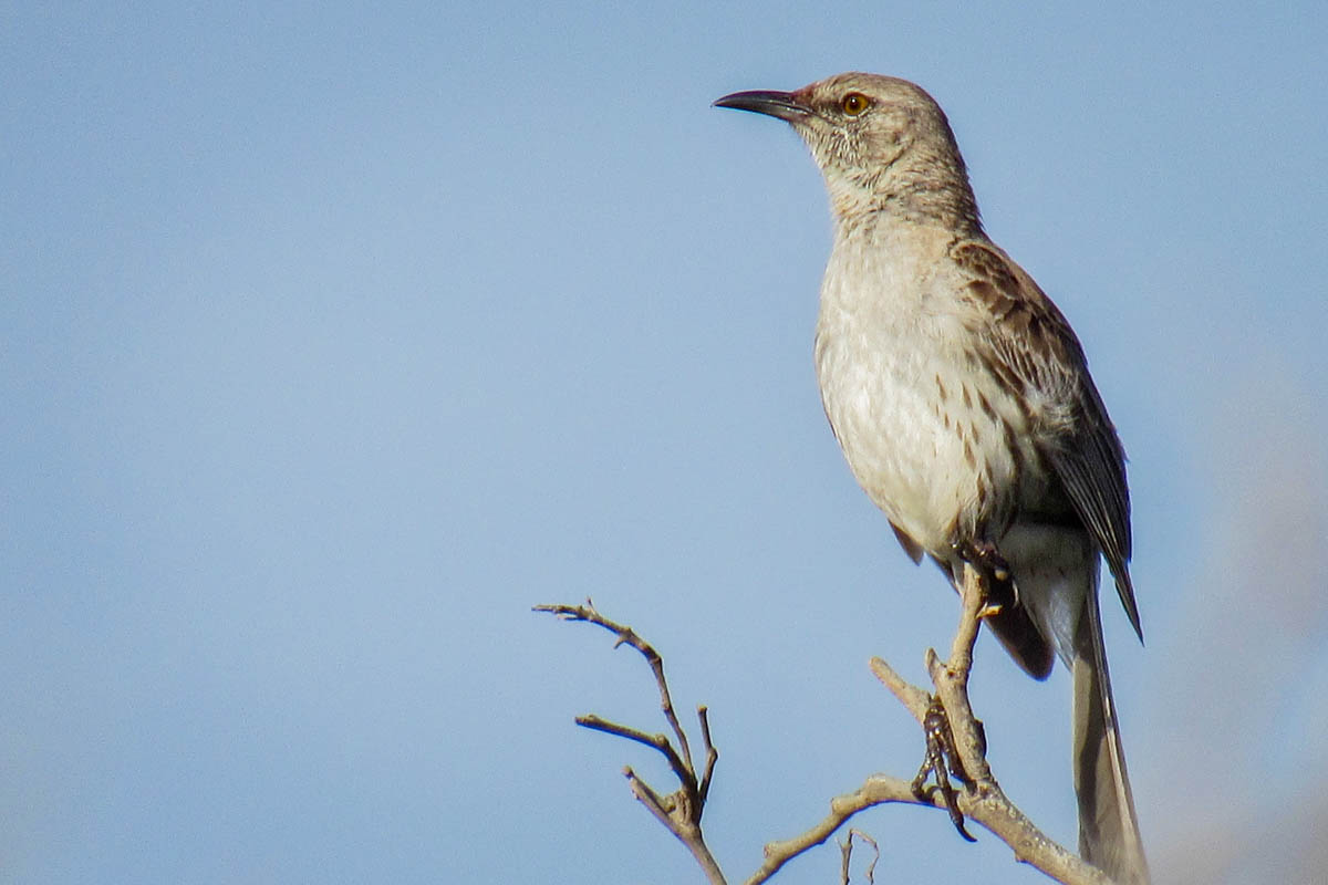 The Bahama Mockingbird Is Restricted To Coastal Dry Limestone Forest In Portland Bight Protected Area