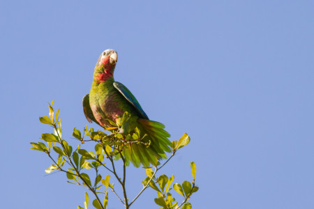 Cuban Parrot surveying his domain. (photo by Elliotte Rusty-Harold, Shutterstock