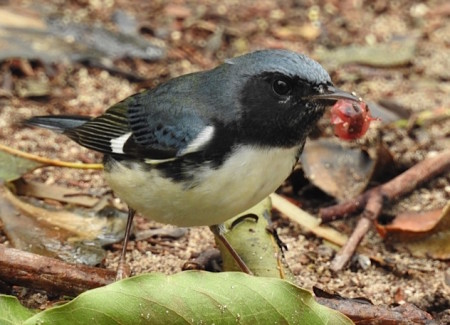 A Black-throated Blue-Warbler male gorging on berries right after Hurricane Matthew passed through Grand Bahama. (photo by Erika Gates)