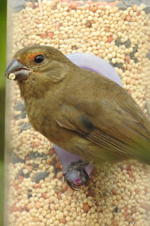 Greater Antillean Bullfinch at seed feeder. (photo by Erika Gates)