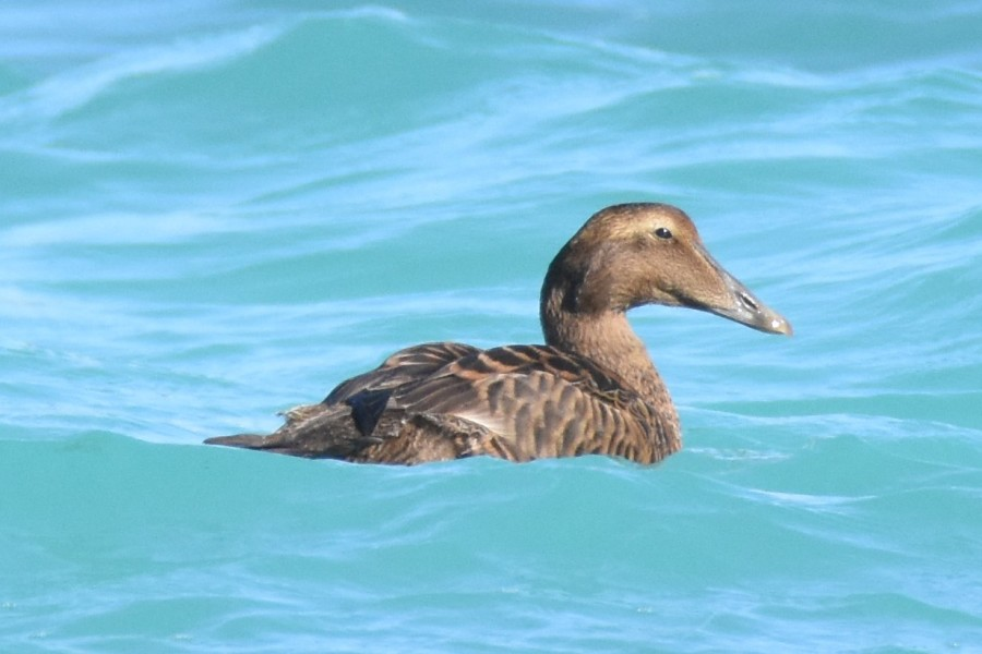 Female Common Eider, spotted 19 December 2016, first record for Bermuda. (photo by Andrew Dobson)