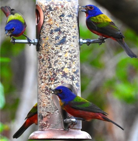Painted Buntings returned to Grand Bahama in late December, proof that Hurricane Matthew could not keep this beloved winter visitor away, despite the devastated habitat! (photo by Erika Gates)