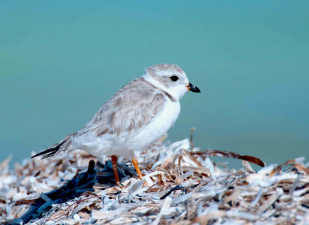 Shorebirds like Piping Plovers that spend the winter in the Caribbean are vulnerable to being killed by hurricanes as their habitat takes a direct hit from the storm and they have no place to hide. In addition, their sand dune roosting habitat can be damaged. (photo by Walker Golder)