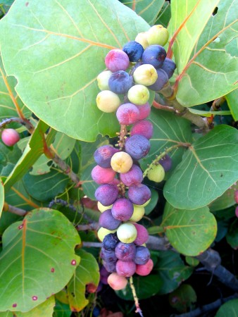 Hurricanes often destroy favorite feeding trees such as Sea Grape (shown here) and Pigeon Plum, beloved by fruit eating birds, leaving many birds hungry and wandering in search of alternative food sources after a hurricane. (photo by Lisa Sorenson)