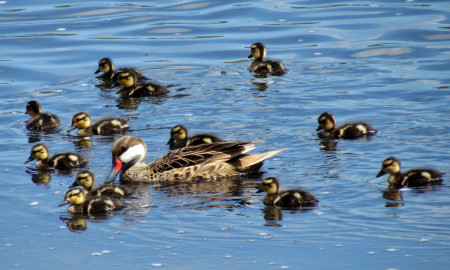 White-cheeked Pintails are a tropical duck that may breed when conditions are good, which can happen after a hurricane when ponds become flooded and abundant aquatic macro invertebrates provide food for breeding females and their ducklings. (photo by Jackie Cestero)