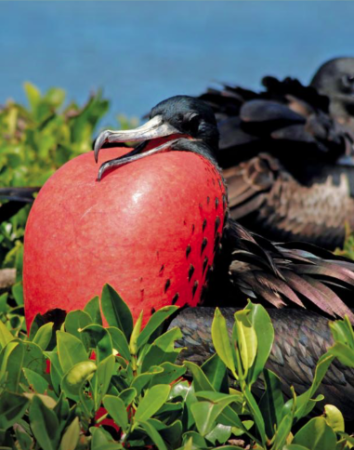 Magnificent Frigatebird male inflates his bright red throat pouch to attract a mate at Barbuda's Frigatebird Colony, the largest in the Caribbean. (photo by Kate Lavasseur)