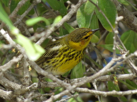 Cape May Warbler, a common wintering warbler in Cuba and throughout the entire Caribbean region, was also seen in the Cayo Coco Cays. (photo by Anne Goulden)