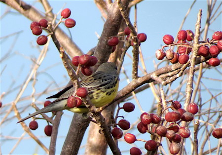 The Kirtland's Warbler was spotted feeding on berries of the Gumbo Limbo tree (Bursera simaruba), a very important food source for many birds, including migratory warblers fattening up in their Caribbean wintering grounds for their long journey north to their breeding grounds in spring. (photo by Anne Goulden)