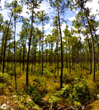 Bahamian pine forest is prime nesting habitat for the Bahama Swallow. (Photo by Melanie Rose Wells)