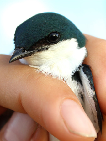 Male Bahama Swallow in the hand. (Photo by Maya Wilson)
