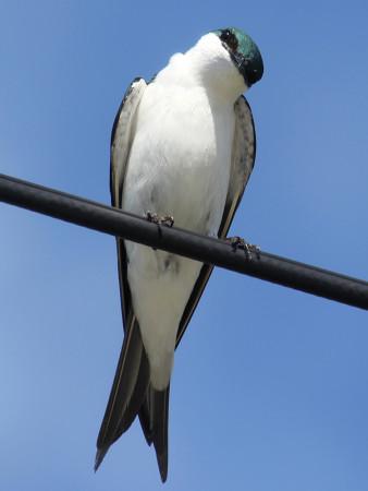 A male Bahama Swallow. (Photo by Melanie Rose Wells)