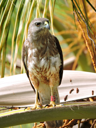 Ridgway's Hawks are critically endangered, found only in Los Haitises National Park in the Dominican Republic. (Photo by the Peregrine Fund).