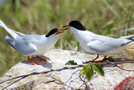 Adult roseate tern couple displaying courtship behavior in the LeDuck island colony. (Photo by Daniel Nellis)