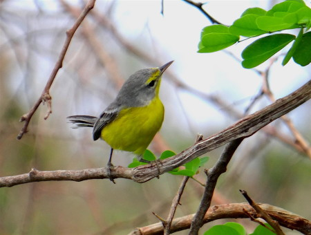 Warbler found! The first Barbuda Warbler spotted by Andrea Otto and Joseph Prosper of the Environmental Awareness Group on their survey trip to Barbuda on Sept. 22nd. No warblers were seen on the first survey trip to the island on Sept. 15th. (Photo by Andrea Otto.)