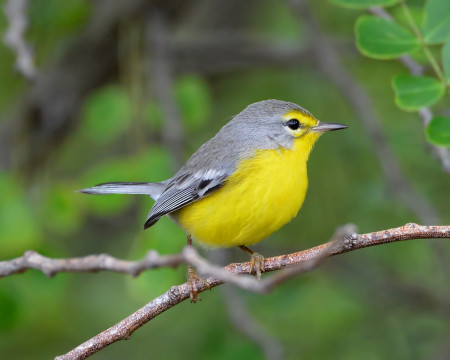 The Barbuda Warbler is endemic to the tiny island of Barbuda which was decimated by Hurricane Irma. (Photo by Ted Eubanks)
