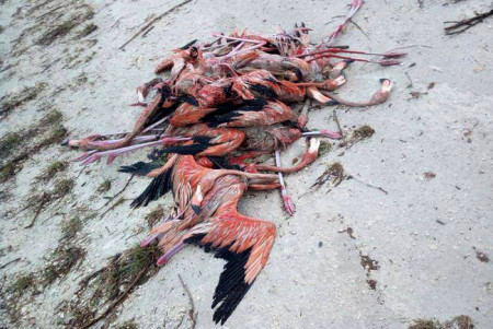 Unfortunately, many flamingos in the Cayo Coco Cays on the the north coast of Cuba did not survive the hurricane. (Photo by Granma.cu)