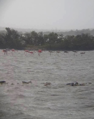 Casper Burrows, a Bahamas National Trust Park Warden on Great Inagua, home to 40,000+ breeding American Flamingos, was elated to spot resident flamingoes feeding just after Hurricane Irma roared through the island. The flamingos had taken shelter in the mangrove vegetation. (Photo by Casper Burrows)