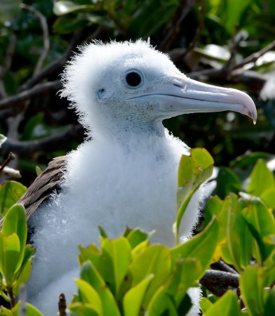 A Magnificent Frigatebird chick, part of the large nesting colony in Barbuda. (Photo by Ted Eubanks)