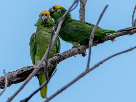 A Yellow-crowned Amazon pair preening in Trinidad. (Photo by Richard Lakhan)