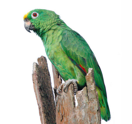 The Yellow-crowned Amazon is part of a superspecies of similar, closely related Parrots. (Photo by Faraaz Abdool)