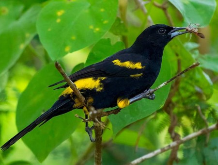 Cuban Oriole, one of 26 endemic birds in Cuba (photo by Aslam Ibrahim)